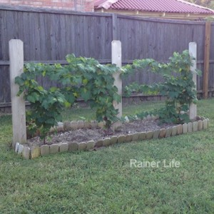 Grapevines growing in our backyard.