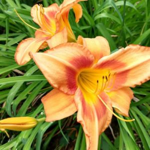 Day lilies | rainerlife.com